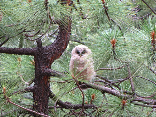 Mexican Spotted Owl fledging #2 | by Sarah Beck