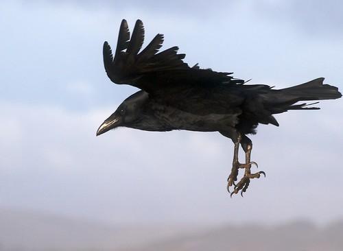 Raven in Flight   by Ingrid Taylar