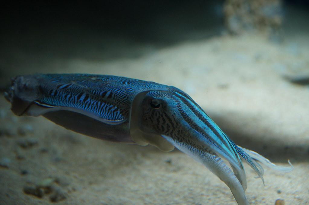 カミナリイカ Culttlefish
