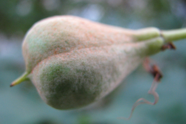 Aesculus parviflora03