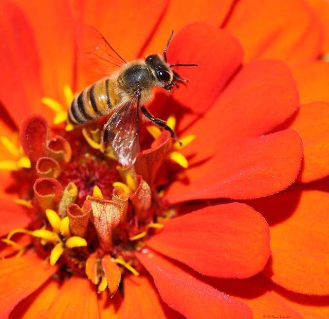 Macro de abelha na flor - 14-11-2009 - IMG_4313