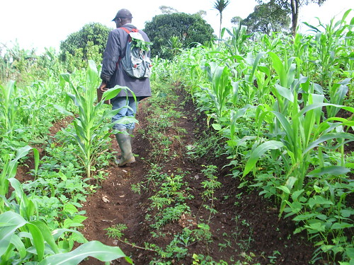 Cameroon 2009: The njenbing Young Farmers Group, members of the Lebialem agroforestry Farmers network planted Acacia in this field with corn and beans.   by treesftf