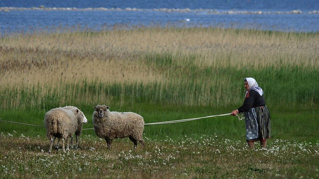 Granny with sheep