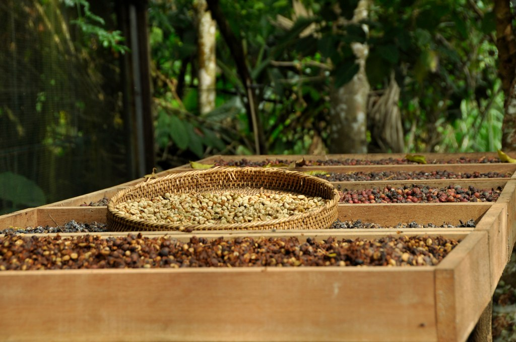 Travel&Food: Kopi Luwak, one of the most expensive coffee in the world