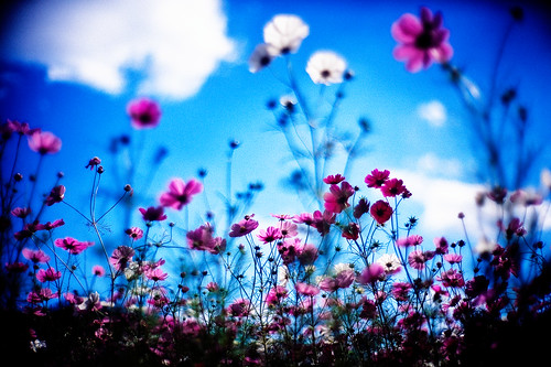 life leica blue autumn sky flower 50mm flora october dof bokeh dream bluesky utata bloom flowering dreamy mp 2009 cosmos blooming rvp f095 fujivelvia inbloom cosmosbipinnatus leicamp canonf095 fujirvp inlife canon50mmf095 gettyimagesjapanq1 gettyimagesjapanq2