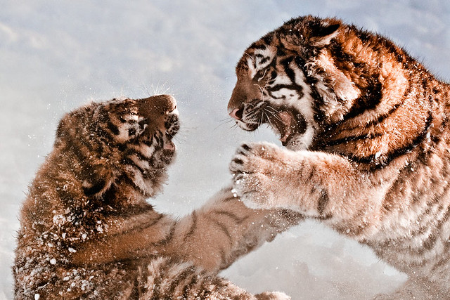 Tiger cubs playing in the snow