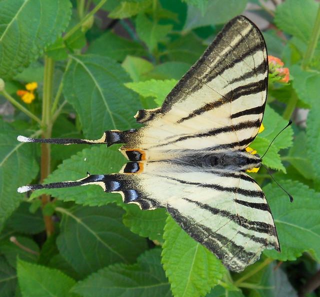 farfallona