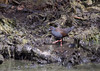 Spotless Crake by Mister Troy