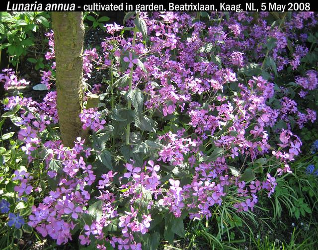 Lunaria annua - Garden Beatrixln, Kaag, NL, 5 May 2008 01 Leo