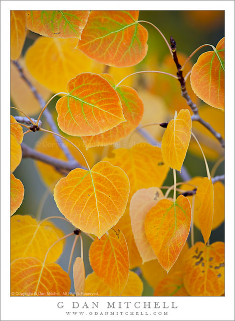 Aspen Leaves in Transition - Near Conway Summit
