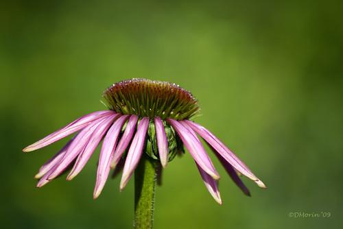 Un jour je serai une belle fleur | Fleur d'échinacée ...