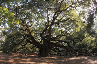 Angel Oak tree | by slworking2