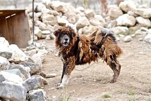 Fierce Tibetan Mastiff