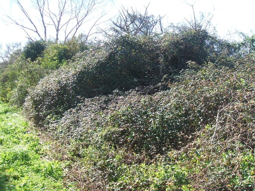 Zarzamora (Rubus fruticosus) | Especie invasora de la R.N Pu… | Flickr