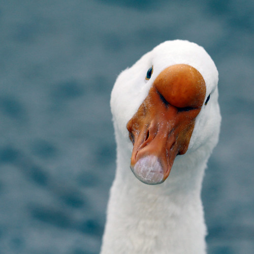 park blue portrait orange usa white bird nature water face birds animal closeup composition canon pose geotagged nose geese bill pond model funny texas photographer bokeh head wildlife humor beak houston headshot goose fowl waterfowl quack pecker wading houstontx 50d canoneos50d