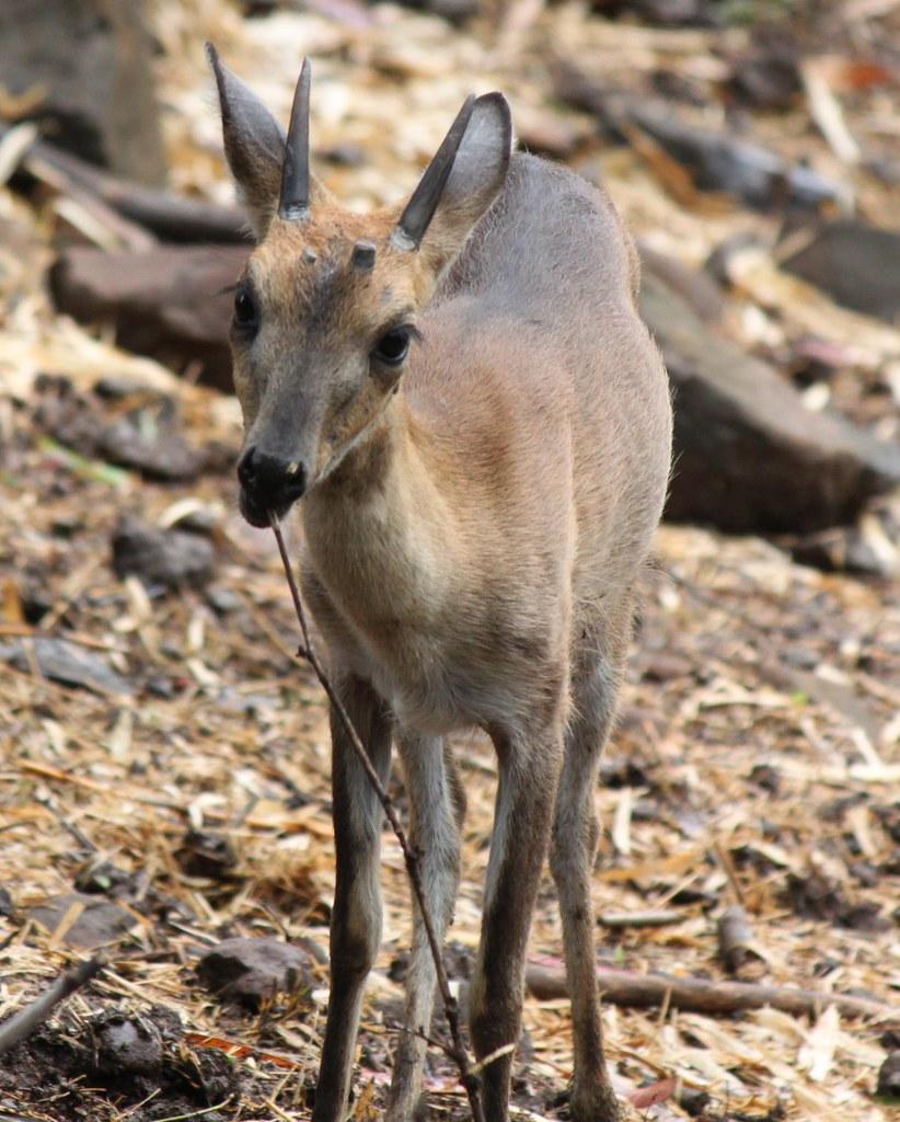 Population of Chausingha deer increases at Umarva breeding centre in Narmada