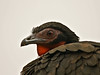 White-winged Guan (Penelope albipennis) by David Cook Wildlife Photography