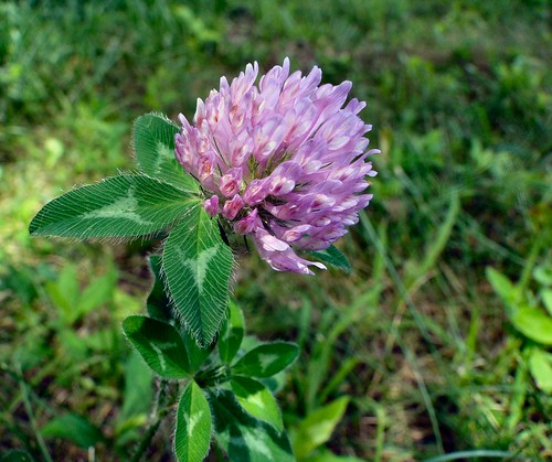 flower macro green weed purple indiana salem clover washingtoncounty mywinners anawesomeshot dschx1 lakesalinda
