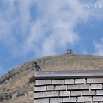 Mountain Bluebird on Granite Park Chalet Roof
