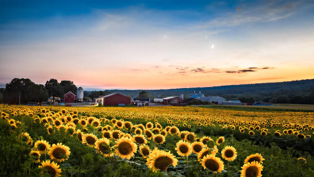 Sunflowers, moon and stars