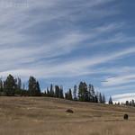 Bison in Pelican Valley
