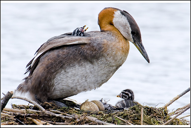 Grebe (Red Necked) - 0786