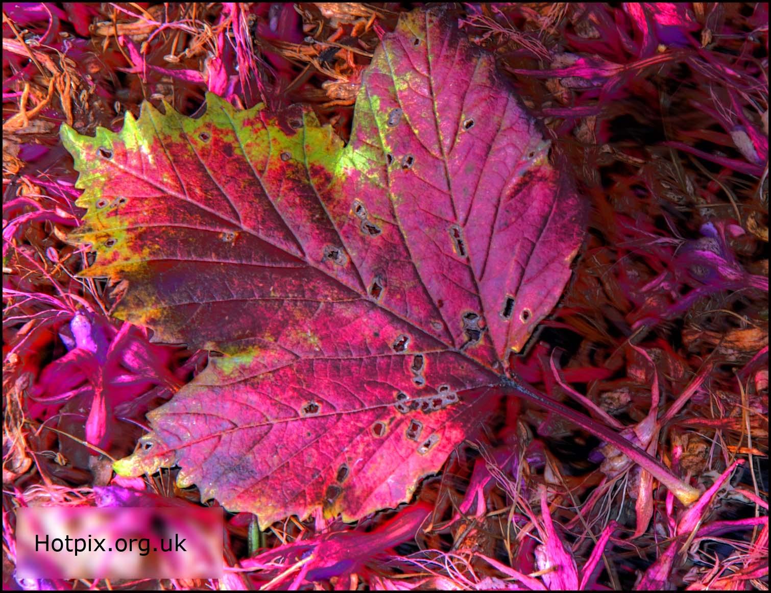 red,leaf,autumn,fuscia,bush,plant,flower,purple,petal,petals,decay,rotting,england,northwich,cheshire,weaverham,hotpixuk,hotpix,tonysmith,tony,smith,UK,TDKTony,photo,photos,photography,photographer,hotpix.org.uk,www.hotpix.org.uk,www.thewdcc.org.uk,thewdcc.org.uk,wdcc.org.uk,Warrington,society,District,Camera,club,photographic,SLR,DSLR,group,GYCA,Bellhouse,bellhouse Club,nature,natural,history,world,life,HDR,high dynamic range,bloom,flowers,flores,blome,stillife,stilllife,still