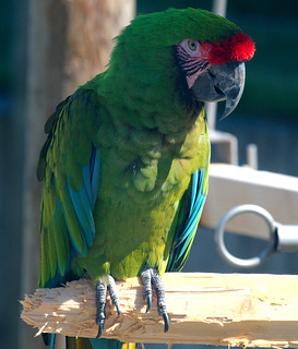 Military macaw 7 | by D Coetzee