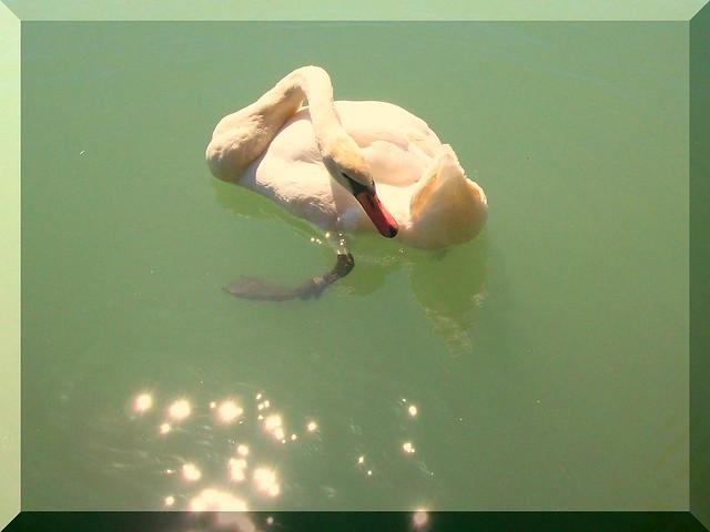 Swan in Hungary-Hattyú