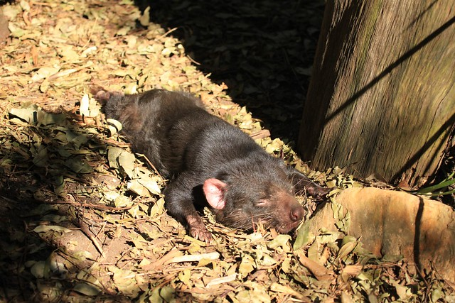 Tasmanian devil soaking up the winter sunshine