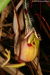 Ribbon Snake Eating Green Treefrog by Pregilla