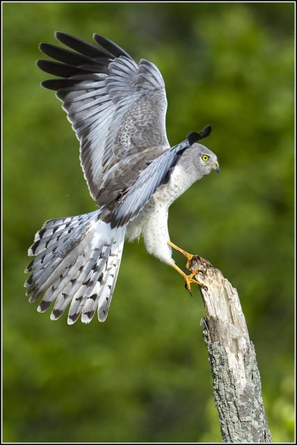 Hawk (Northern Harrier) - 0360
