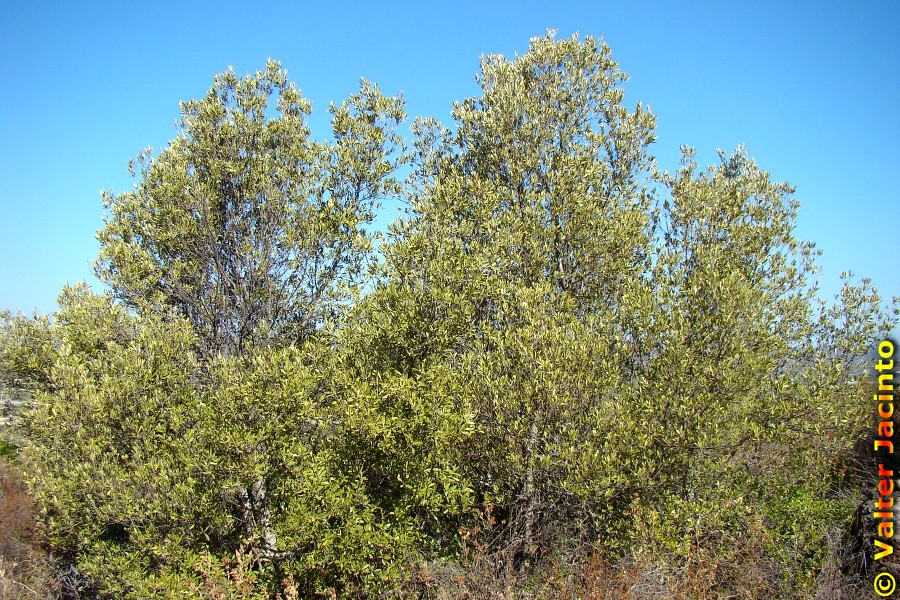 Plant Olea europae sylvestris Wild Olive tree
