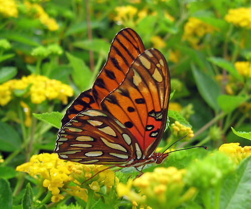 orange usa white black butterfly bug insect nc northcarolina wilmington eastcoast gulffritillary nymphalidae agraulisvanillae brushfootedbutterfly passionbutterfly
