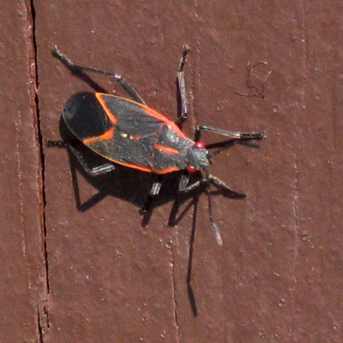 Boxelder Bug   by Dendroica cerulea
