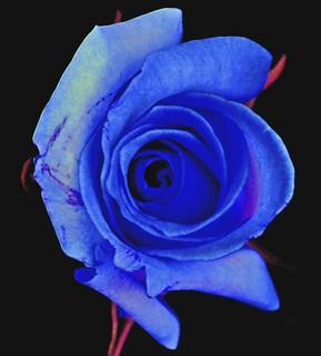 Neon Blue Rose