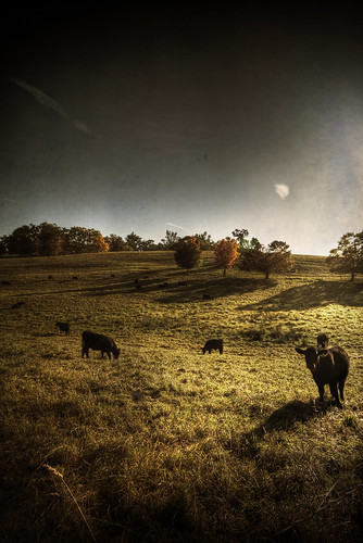 fall texture field rural canon landscape october cows farm newengland hdr groton sigma1020mm 40d patrickcampagnone