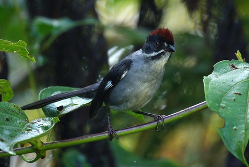 Slaty Brush Finch (Atlapetes schistaceus)-Loros Andinos Nature Reserve | by Alonso Quevedo Gil