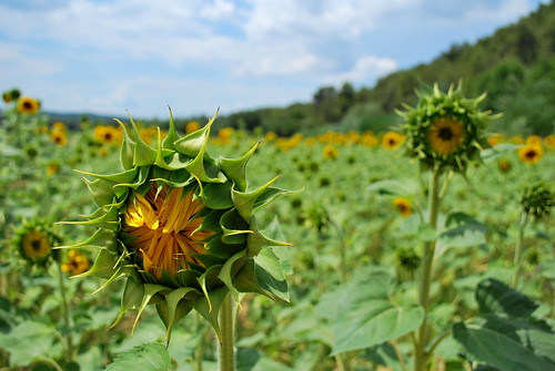 Sunflower | by goingslowly