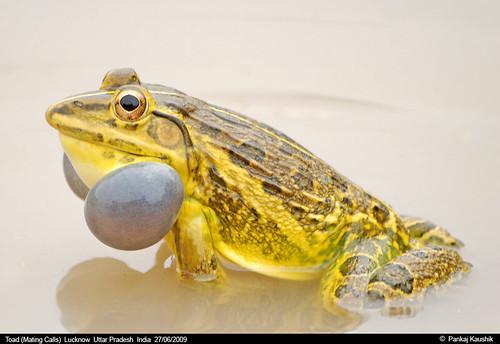 Toad ( Mating Calls )