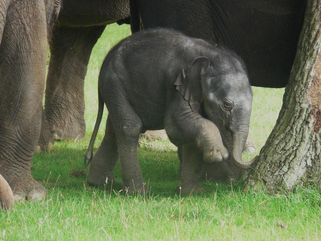 nouvelle arrivee 11ce4 3f7fb Whipsnade bébé éléphant levant la patte jy 280709   jean ...