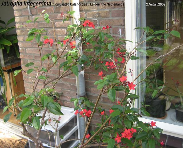 Jatropha integerrima - Calandstr, Leiden, NL 2 Aug 2008 11 Leo