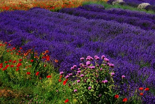 Last summer's lavender