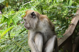 Wild Macaque | by davidwjford