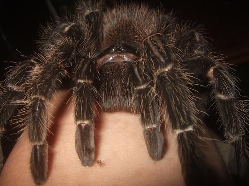 Goliath Bird-eater Spider