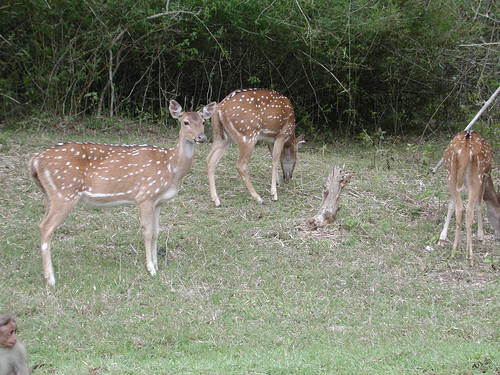 Sat, 10/31/2009 - 20:03 - Spotted deer (Axis axis) are very abundant in the 50-ha plot. Credit: CTFS.