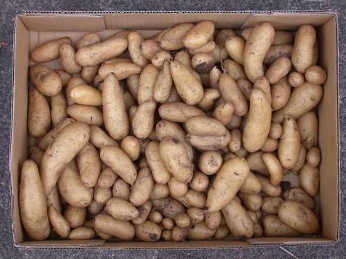 Potatoes-Kipfler-HeatAffectedHarvest-9288-2040gram | by graibeard