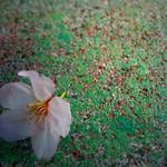 桜色 cherry blossome