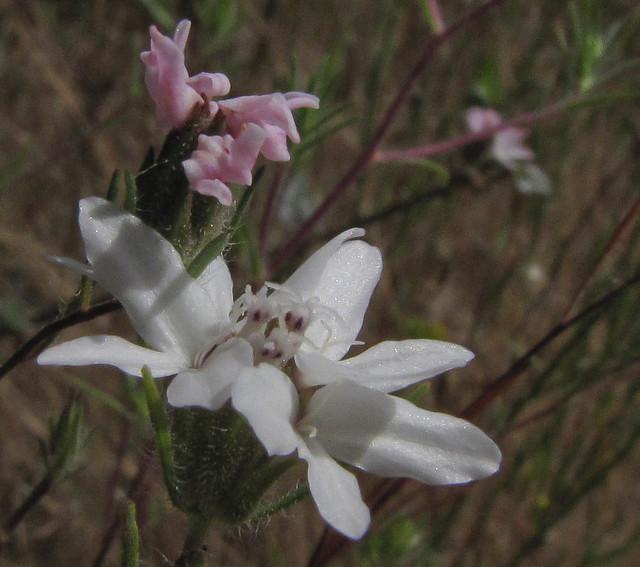 Asteraceae, Osmadenia tenella, Three Spot/False Rosinweed