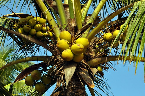 india goa palolembeach coconuttree asienmanphotography cocosnucifera
